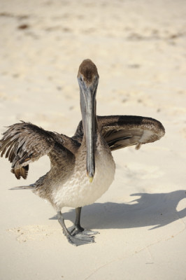 Stillwell,Pelican