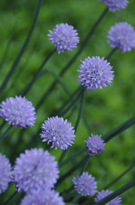 Stillwell_Chives