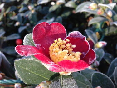 Stillwell_Frost_Camelia