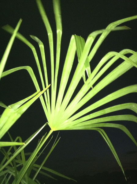 Stillwell_Green_Fan_Palm_Leaf