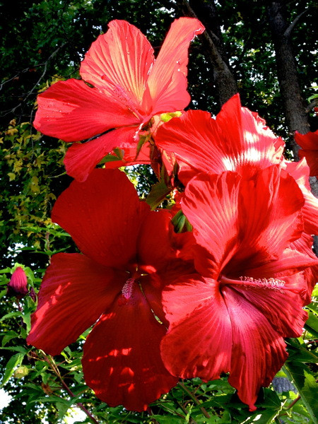 Stillwell_Hibiscus_Lord_Baltimore_Red