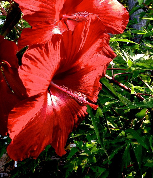 Stillwell_Hibiscus_Lord_Baltimore_Red2