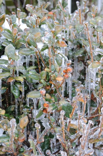 Stillwell_Iced_Camelia_Plants