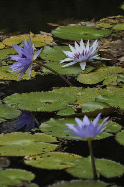 Stillwell_Lavendar_WaterLilies2