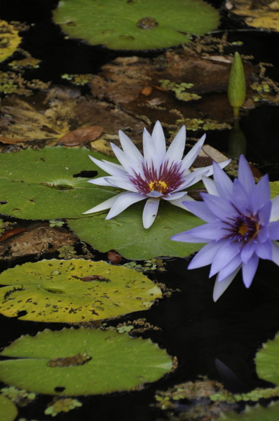 Stillwell_Lavendar_WaterLilies3