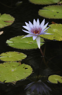 Stillwell_Lavendar_WaterLily1