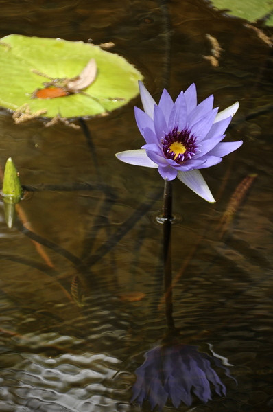 Stillwell_Lavendar_WaterLily6