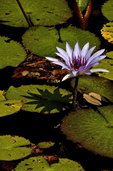 Stillwell_Lavendar_WaterLily7