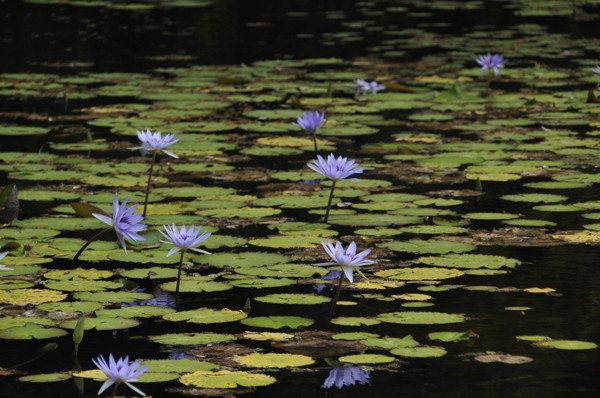 Stillwell_Lavender_WaterLilies4