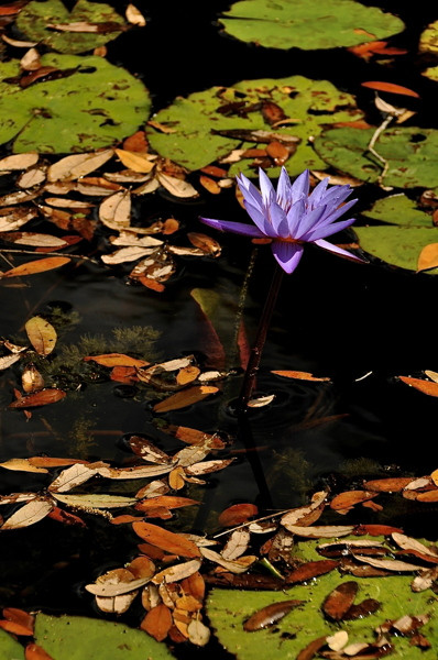 Stillwell_Lavendr_WaterLily8