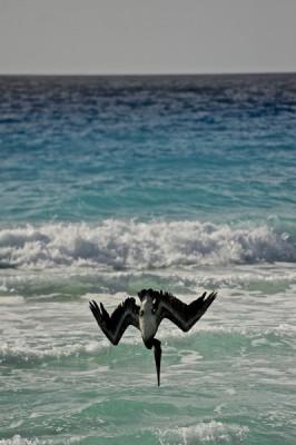 Stillwell_Pelican_Dive