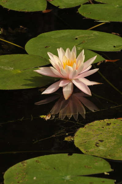 Stillwell_Pink_WaterLily1