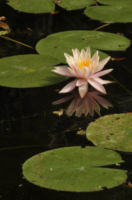 Stillwell_Pink_WaterLily2