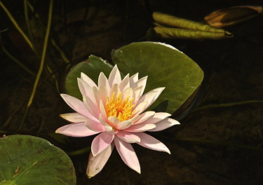 Stillwell_Pink_WaterLily3