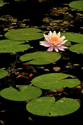 Stillwell_Pink_WaterLily4