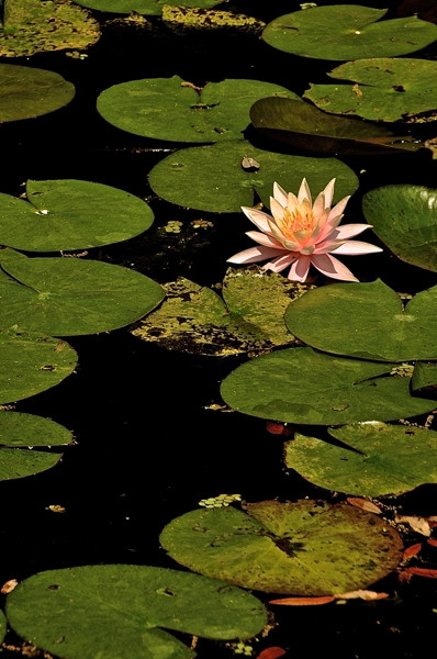 Stillwell_Pink_WaterLily5