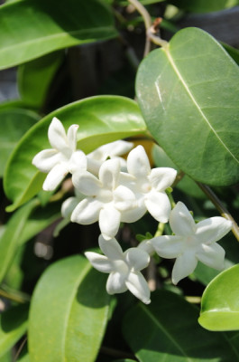Stillwell_Stephanotis2