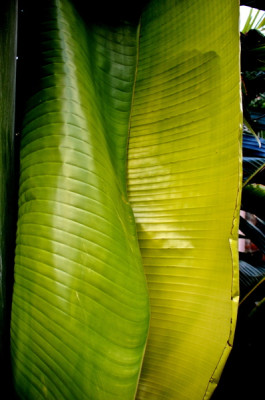 Stillwell_Traveling_Palm_Furled