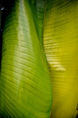 Stillwell_Traveling_Palm_Furled2
