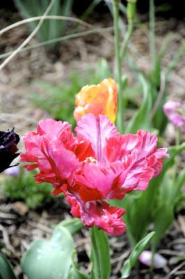 Stillwell_Tulip_Pink_Ruffled