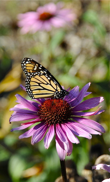 Stillwell_Butterfly_Echinacea
