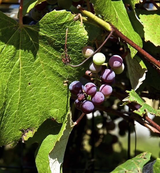 Stillwell_Grapes1