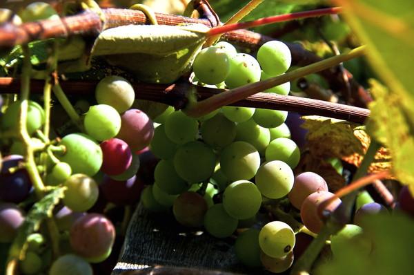 Stillwell_Grapes2