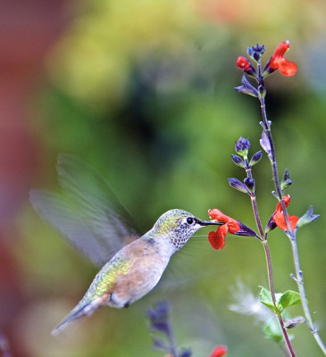 Stillwell_Hummingbird