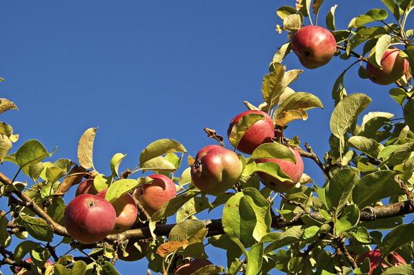 Stillwell_ME_Apples