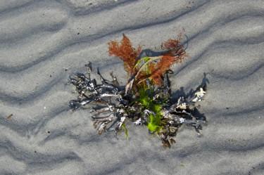 Stillwell_ME_Mudflat_Red_Seaweed