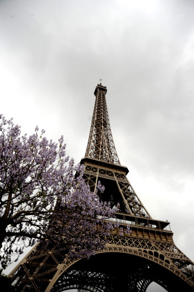 Stillwell_Paris_Eiffel_Twr_Jacaranda_Purple