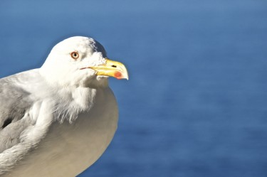 Stillwell_CE_Gull_4