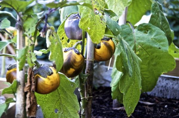 Stillwell_Eggplant_4